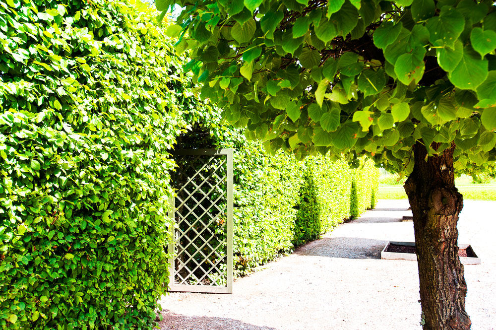 Hedge Maintenance in Surrey