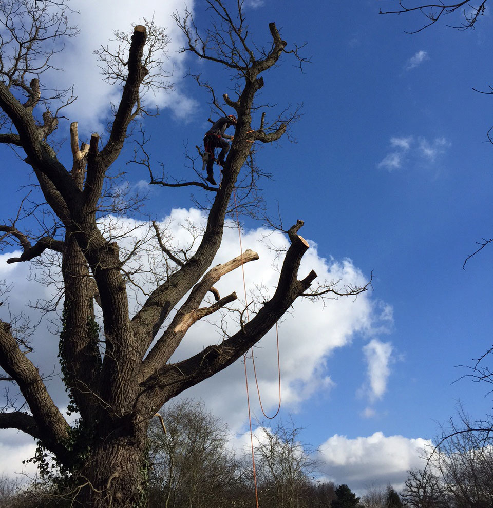 Pruning at Horton Country Park, Epsom, Surrey