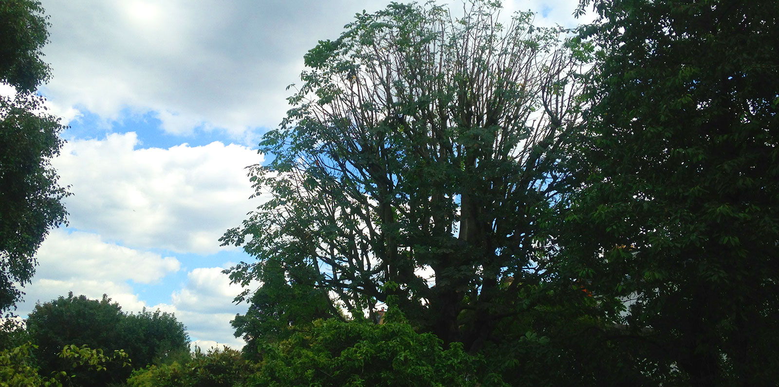 Crown Thinning of Horse Chestnut by Benton Tree Surgeons
