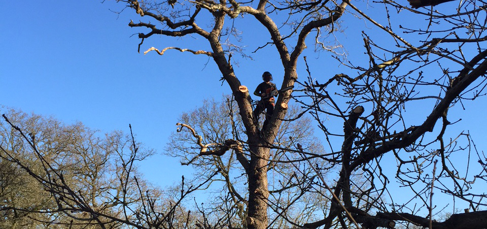 Oak tree with tree surgeons from Benton Arboriculture