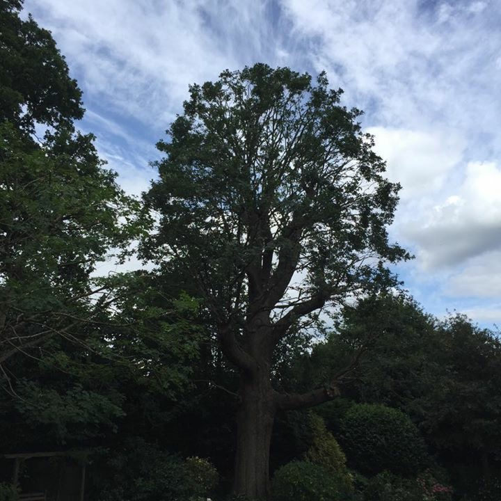 Oak tree reduction in Kingswood Surrey