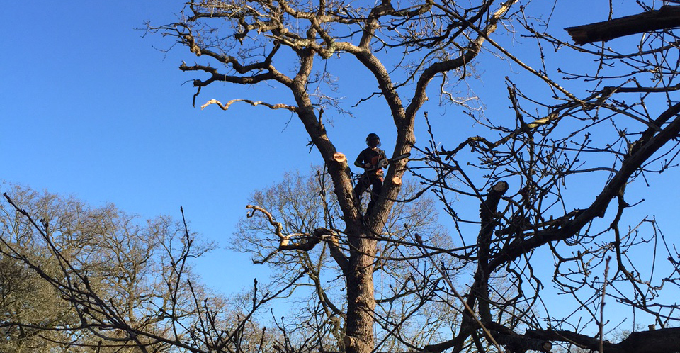 Tree Surgeon in huge Oak