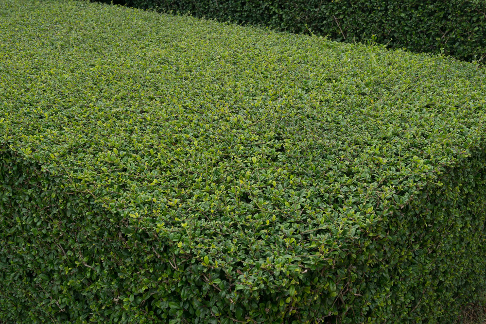 Hedge Cutting in Oxshott