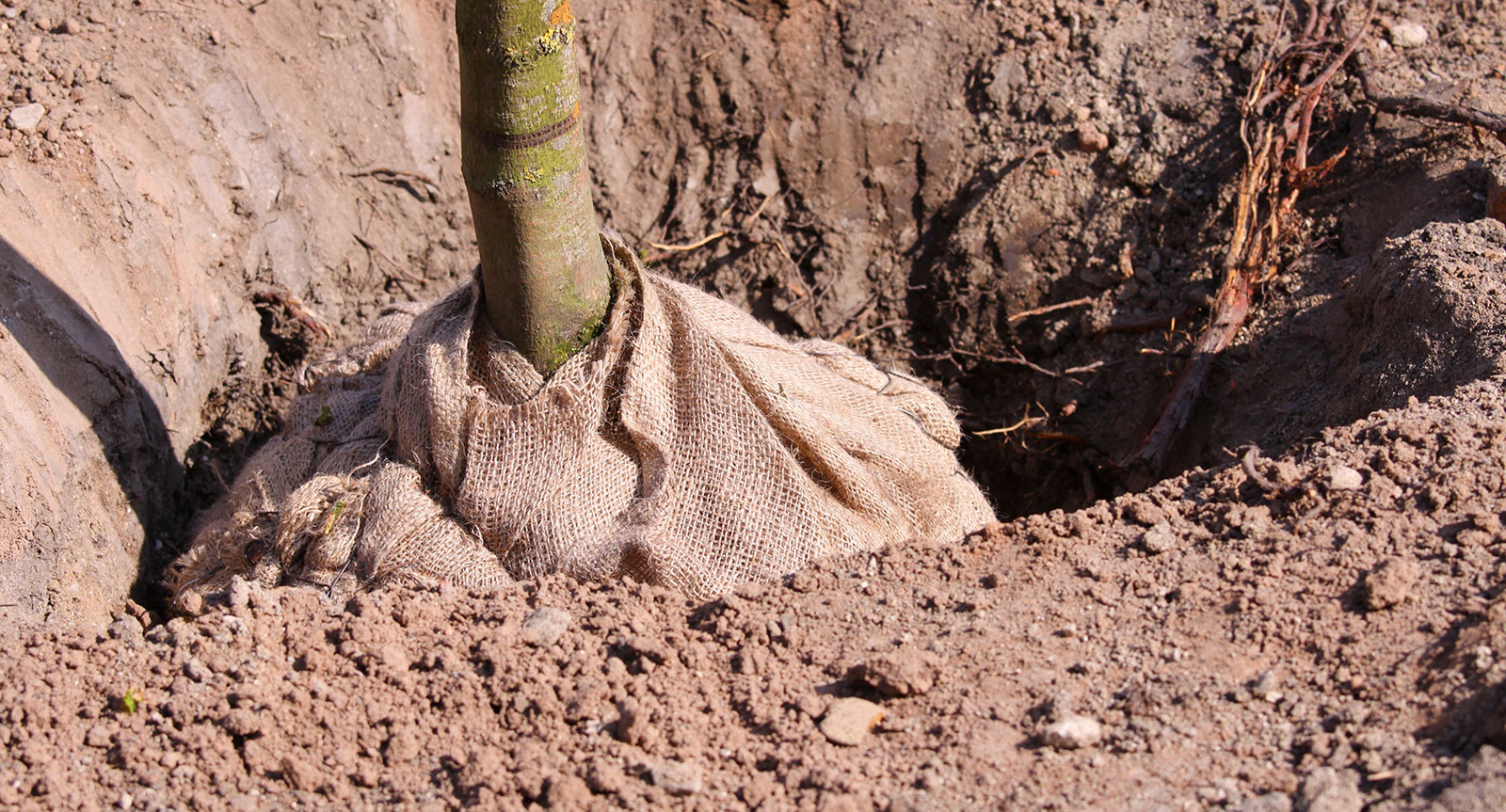 Tree Planting by qualified tree surgeons