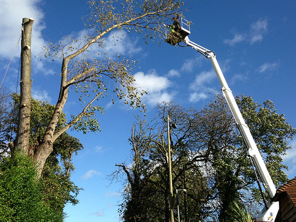 Tree Removal of Storm Damaged Birch by Cherry Picker