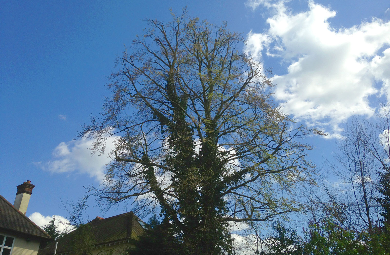 Crown Reduction of mature beech in Surrey