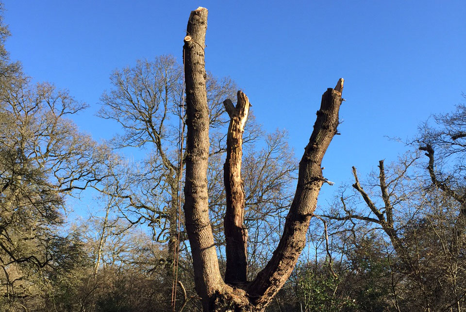 Tree Pollarding in Ashtead, Surrey by Benton Tree Surgery