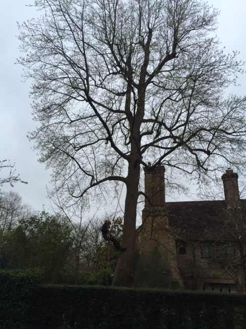 A Large Tulip tree in Chipstead