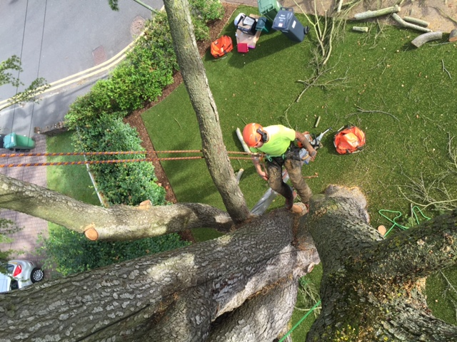 Deadwooding and removal of Lime tree in Dorking, Surrey