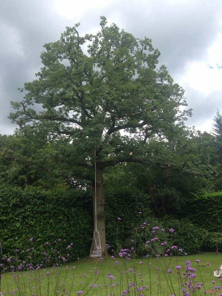 Semi mature oak in Kingswood
